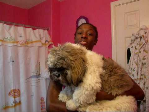 how big does a shih tzu get giant shih tzu strikes again youtube 6341