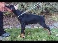 2017 Trained European Doberman Puppy For Sale USA - Aero