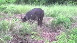 Hog hunting with a Recurve!!