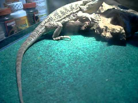 how to take care of a bearded dragon youtube