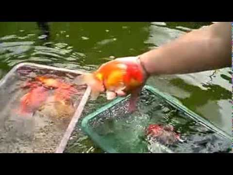 How to select the best goldfish from a goldfish pond youtube for Best goldfish for pond