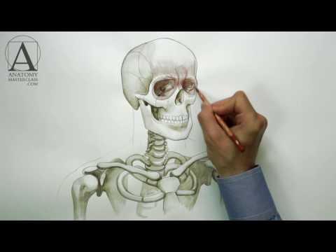 Head Neck and Shoulders Muscles - Anatomy Master Class for figurative artists