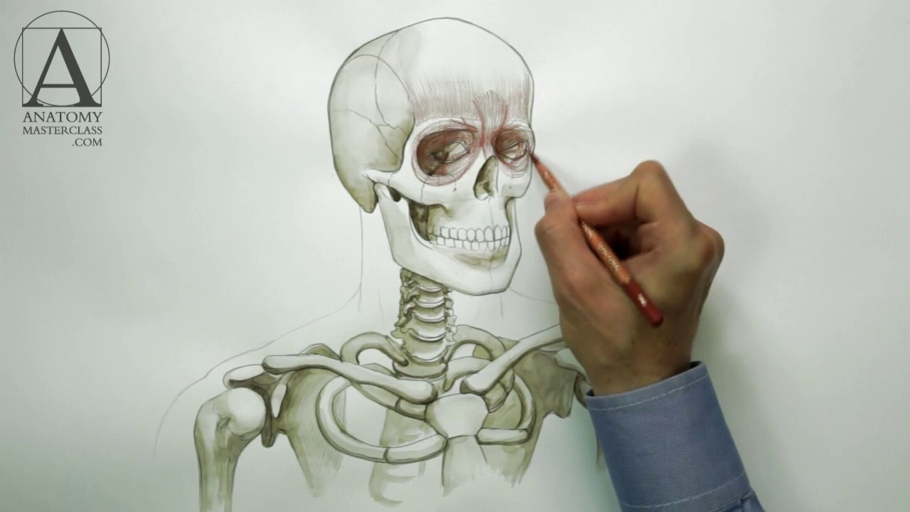 small resolution of head neck and shoulders muscles anatomy master class for figurative artists