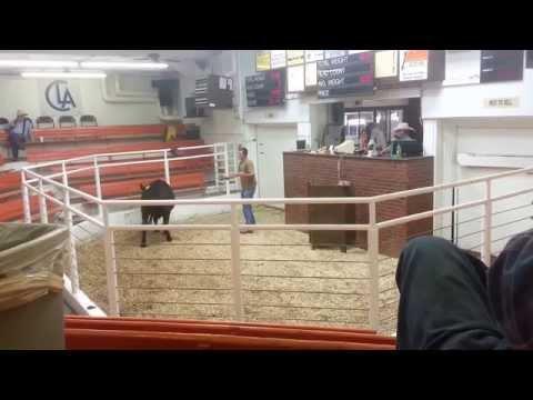 Black Steers Centennial Livestock Auction