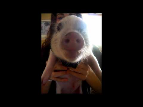 Funny Animal (Pet pig making weird noises while ea