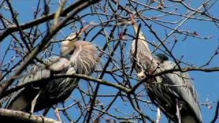 The Great Blue Herons of Stanley Park