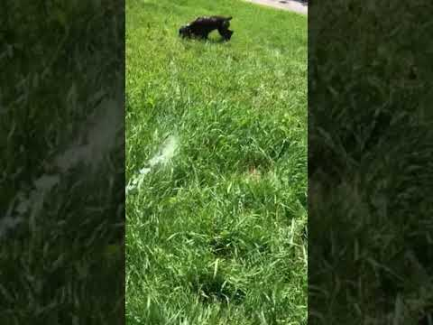 Killara field spaniels- Friday the puppy
