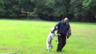 American Bulldog Protection Training Sonny Boy Pure Perfection Kennels Ppk