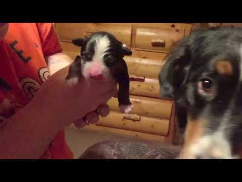 CUTEST NEWBORN BERNESE MOUNTAIN DOG PUPPY!