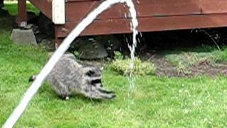 Raccoon playing in water