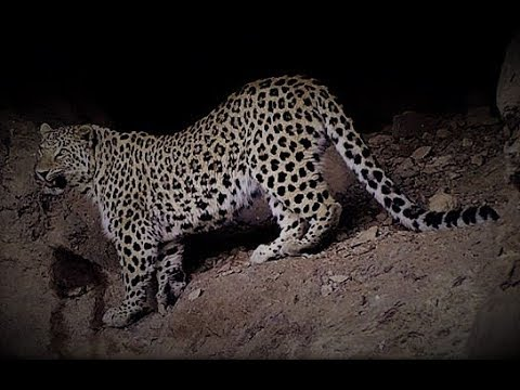 Спустя 40 лет Переднеазиатский леопард вернулся в Хосровский лес