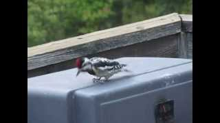 Yellow Bellied Sapsucker Drumming on a BBQ!