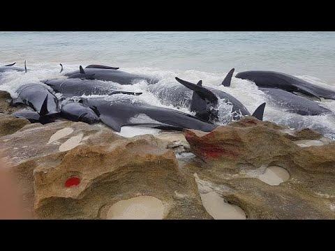 مشاهد صادمة لنفوق عشرات الحيتان بعد جنوحها إلى شاطئ في استراليا  - نشر قبل 4 ساعة