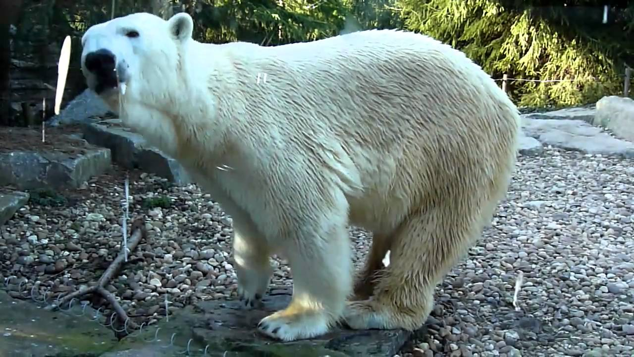 how to make a pet polar bear in minecraft