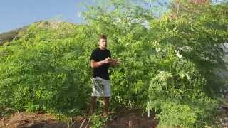 Gambar cover Grow Moringa Trees for Leaves - See What's Possible In Only 3.5 Months!