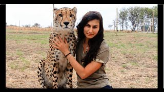 Cheetahs Raised By Meerkats?! - Volunteer Southern Africa