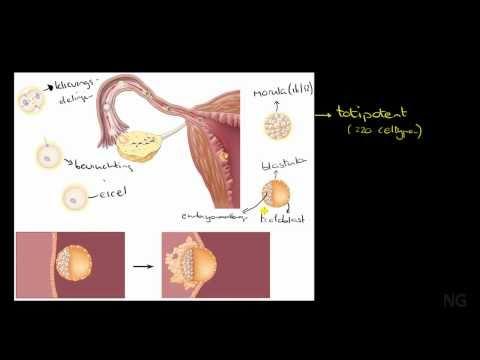 42.2 - Vroege embryonale ontwikkeling