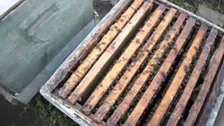 как лучше подставлять пчелам вощину, чтобы им не навредить и не спровоцировать аскосфероз