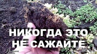 видео Очиток (седум) видный Sedum spectabile