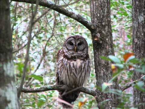 Rhode Island Owl Species