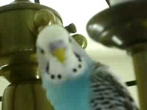 SMARTEST TALKING BIRD IN THE WORLD