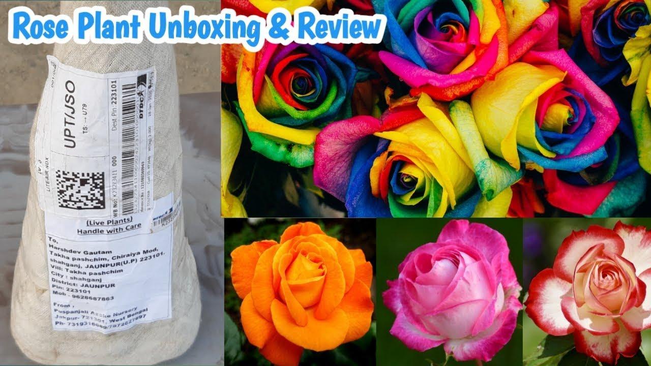 Rose Plant Online Shopping Puspanjali Nursery Online Rose Plant Youtube