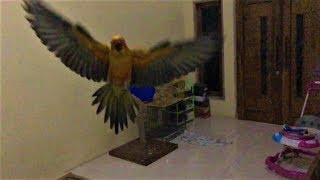 Baby Sun Conure Fly in Slow Motion