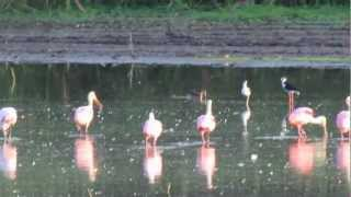 Video Roseate Spoonbills and White Ibis in the Great Trinity Forest download MP3, 3GP, MP4, WEBM, AVI, FLV April 2018