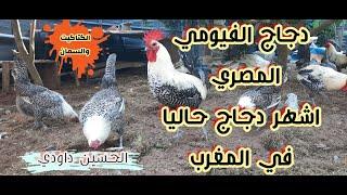 تربية دجاج الفيومي بالمغرب، كيف اصبحت هذه السلالة رقم واحد ؟
