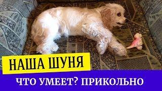Американский кокер спаниель. Что умеет делать щенок спаниеля в 6 месяцев