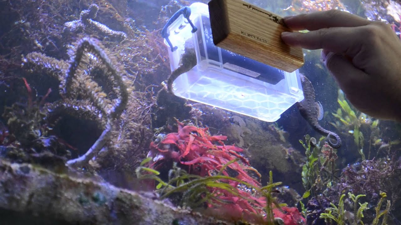 Seahorses feeding with a $2.49 prop - YouTube