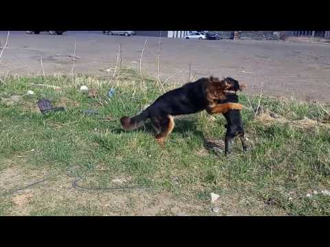 English cocker spaniel VS German shepherd (cocker vin!)