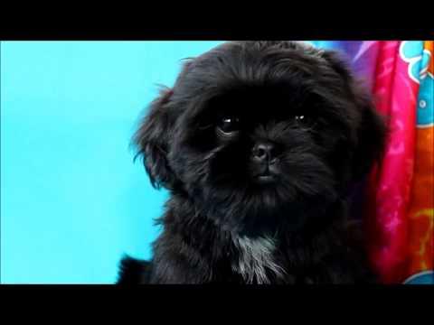 щенок ши-тцу черного окраса