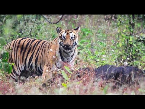 #Morning Safari | Tiger kill Bison (Gaur) Tadoba Tiger Reserve | Kolsa gate Tadoba