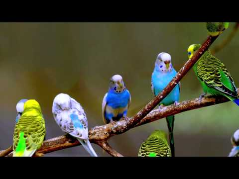 Budgie Sounds (3 Hours)