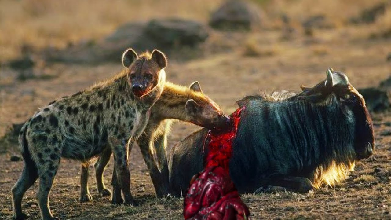 Wild dogs eating prey alive