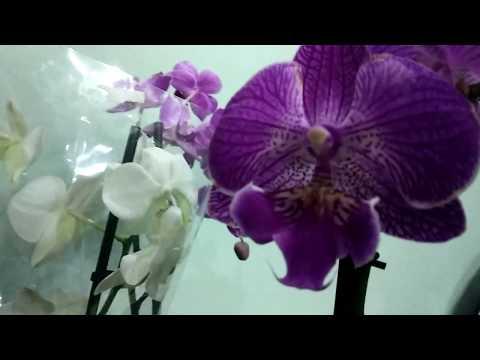 Продажа орхидей в Ташкенте . Бесплатная доставка