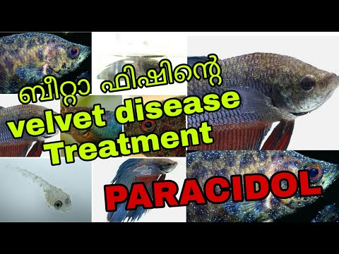 Betta Fish Velvet Disease Treatment Malayalam How To Treat Velvet Disease Paracite Freshwater Velvet