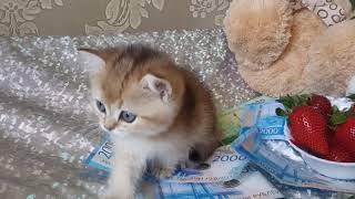 Кошечка британская золотая тикированная шиншилла BRI ny 25