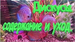 Дискусы в аквариуме, содержание дискусов и уход.