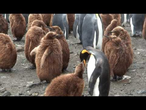 Antarctica part 2, with Fram South Georgia, king penguins, sea lions, Grytviken