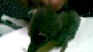 Penemuan Spesis Solenodon(Haiwan Zaman Dinasour) di Malaysia(Negeri 9)