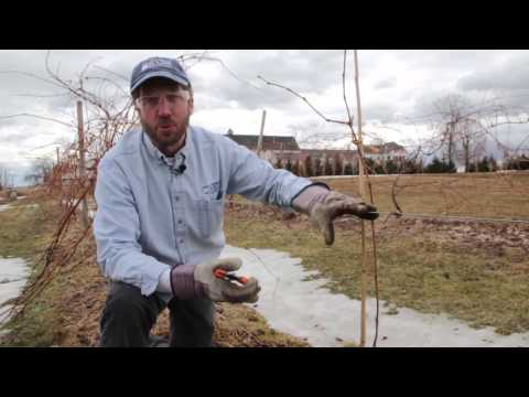Caring for Young Grape Vines