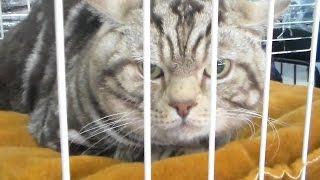 Британская короткошерстная - Английский аристократ, Породы кошек