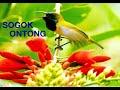 Masteran Sogok Ontong Full Isian  Mp3 - Mp4 Download