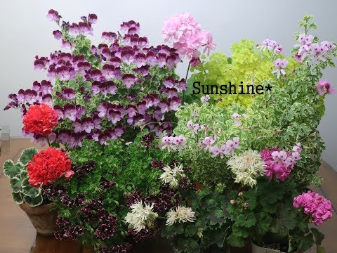 Today's Pelargoniums  ( 2019- 04-20)