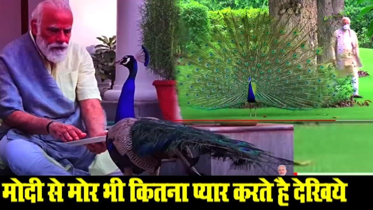 मोदी से मोर भी कितना प्यार करते है देखिये   PM Modi feeds peacocks at residence