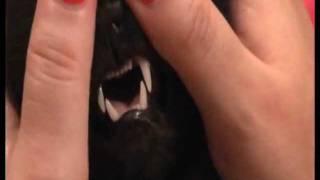 Kошки Васи зубы зубы зубы... Kitten Vasia Tooth's Tooth's Tooth's...