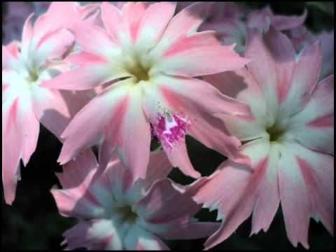 Однолетние цветы на все лето особенности посадки и ухода