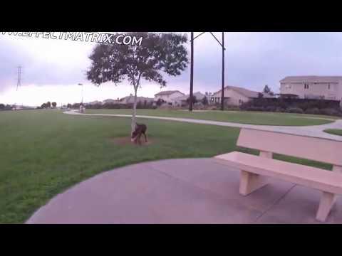 DOBERMAN PINSCHER PUPPY RUNNING AROUND SOCCER FIELD